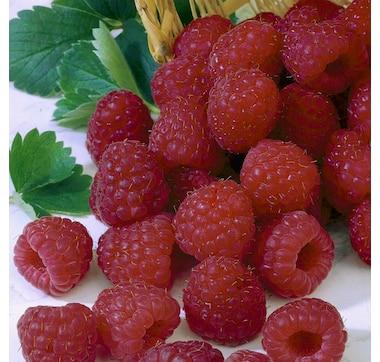 Botanus Heritage Raspberry