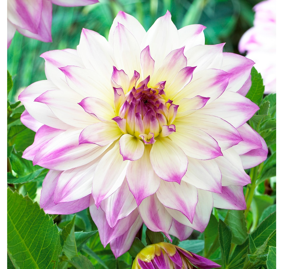 Image 663967.jpg , Product 663-967 / Price $21.95 , Botanus Ferncliff Illusion Dahlia from Botanus on TSC.ca's Home & Garden department