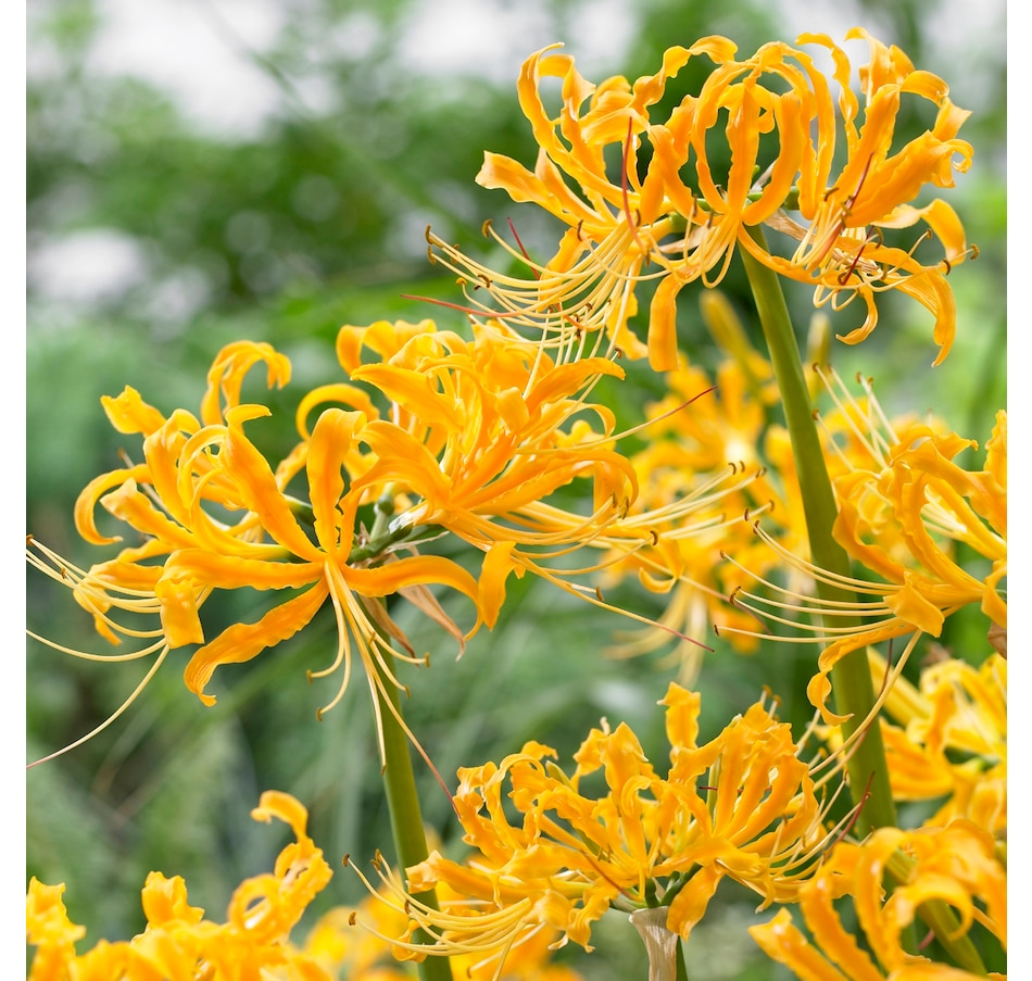 Image 666927.jpg , Product 666-927 / Price $29.95 , Botanus Aurea Guernsey Lily from Botanus on TSC.ca's Home & Garden department