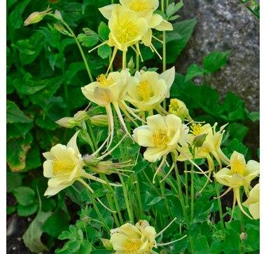 Botanus Origami Yellow Columbine