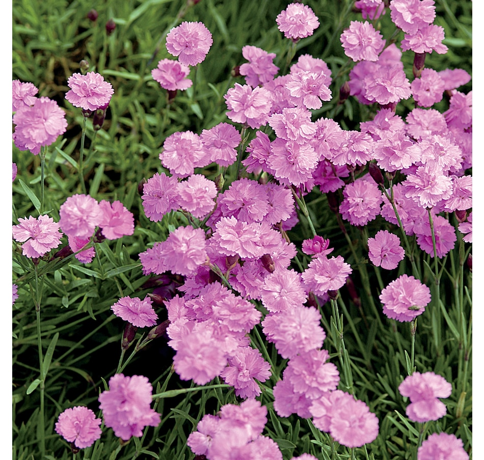 Image 666939.jpg , Product 666-939 / Price $22.50 , Botanus Tiny Rubies Dianthus from Botanus on TSC.ca's Home & Garden department